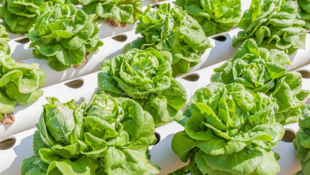 Teknik menanam sayur dengan cara hidropomik