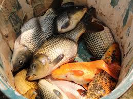cara – cara membudidayakan ikan mas